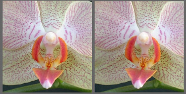 orchid macro stereo parallel375